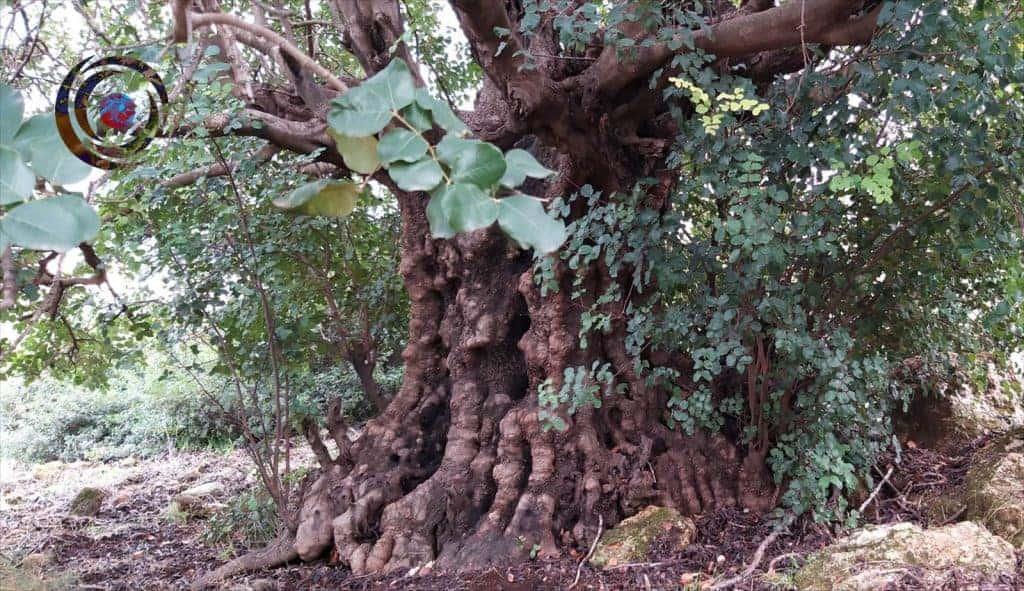 מסע חד יומי לעץ